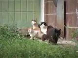 Приколы с животными. Крыс разгоняет стаю Котов)